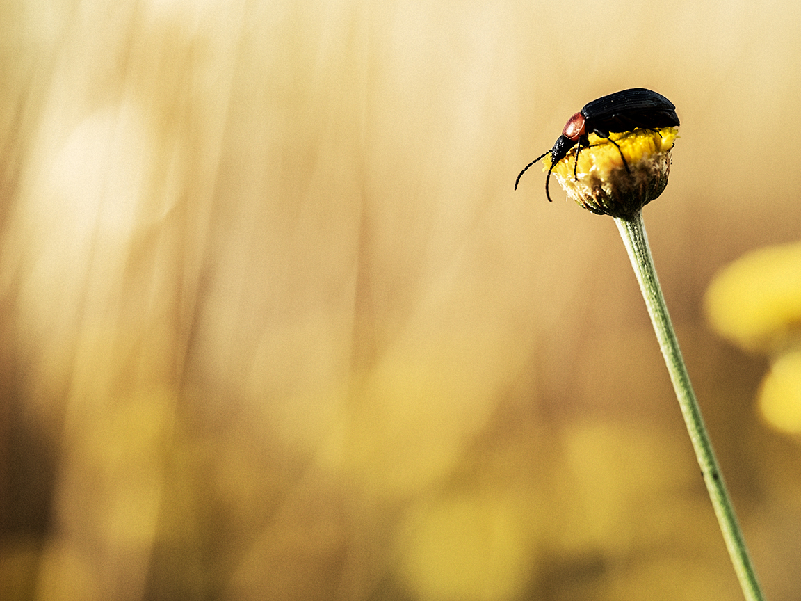 el escarabajo rey