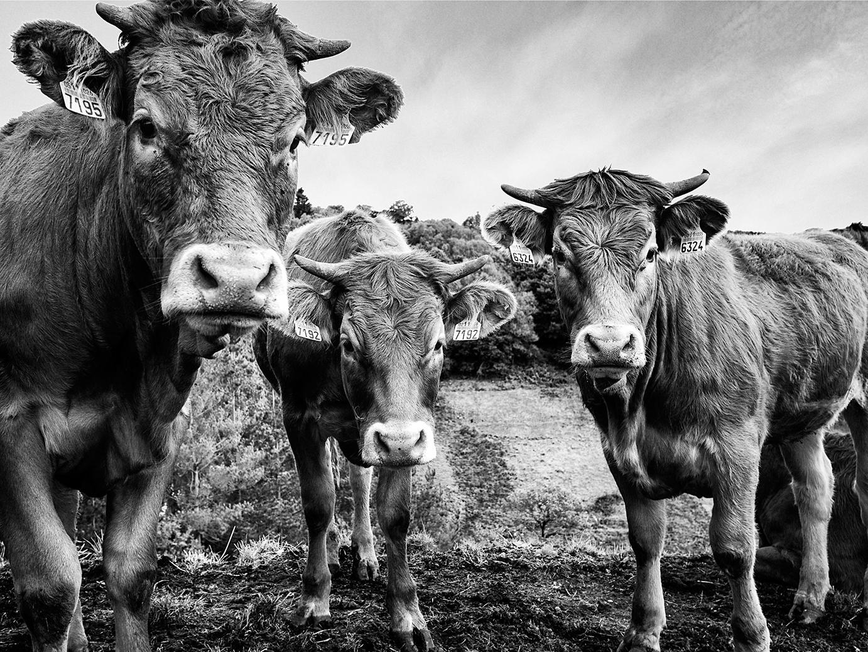 cincuenta y siete vacas